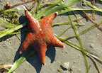 Leather starfish. Surprise Beach near Ketchikan Alaska.