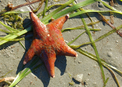 Leather starfish. Surprise Beach near Ketchikan Alaska.