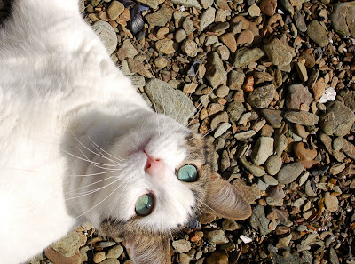 Gracie the cat posing with her amazing turquoise eyes on beach - Mountain Point, near Ketchikan AK
