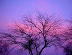 Naked tree silhouetted against purple December sunset in Boise, ID.