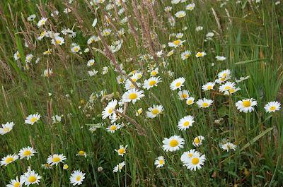 Summer Daisies. Ketchikan, Alaska.