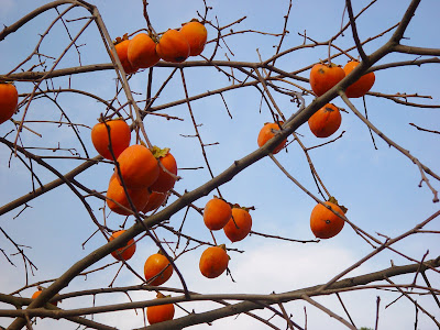 Persimmons on a bare tree, against the sky - Menlo Park, CA.