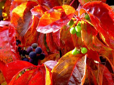 Glossy red leaves, purple & green berries of fall vine, Boise ID.