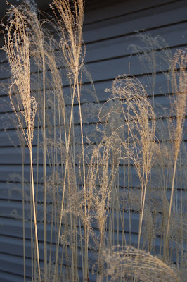 Ornamental grass catching sunlight. Boise, ID.