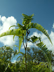 Majestic fern unfurls new fronds toward bright blue Hawaiian sky.
