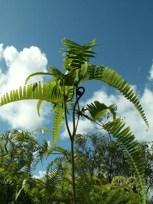Majestic fern unfurls new fronds toward bright blue Hawaiian sky.