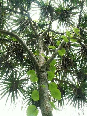 Vine climbing tree in Hawaii.