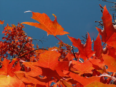 Riot of red - fall maple leaves, intense blue sky.