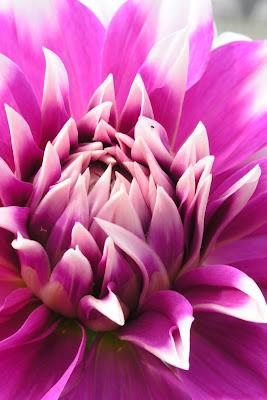 Hot pink petals - flower macro.