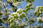 Dogwood blossoms, Boise ID.