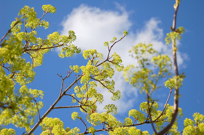 Yellow-green spring blossoms and sky.
