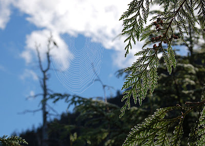 Cedar branches and spiderweb outlined with dew - on Deer Mountain hike, near Ketchikan Alaska.