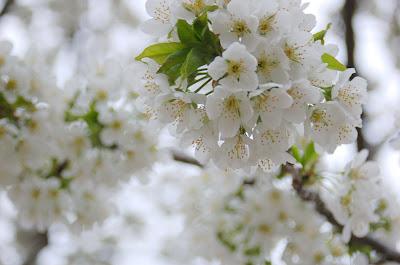 White Cherry Blossoms, Boise Idaho.