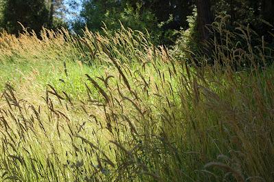 Grassy Meadow. Near Grass Valley, California.