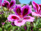 Bi-colored geranium.