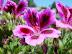 Bi-colored geranium.