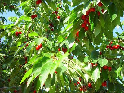Mmmm - cherries on the tree. Boise, ID.