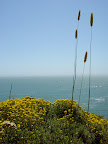 Weeds above Muir Beach.