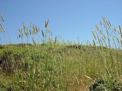 Timothy grass near Muir Beach.