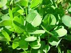 Green spring clover.