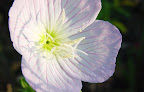 Macro shot of wild evening primrose - Round Rock, near Austin Texas.