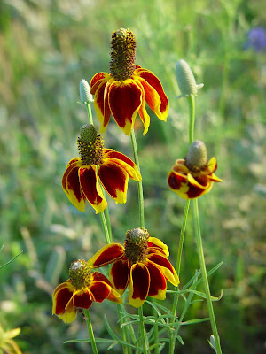 Texas wildflowers.
