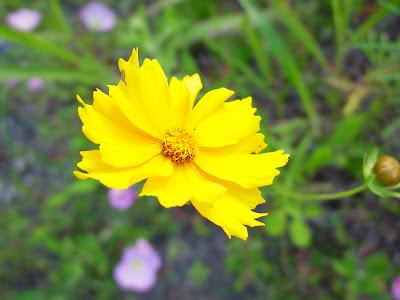 Yellow texas wildfower.