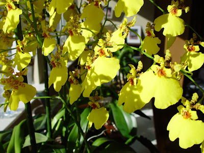 Yellow orchid facing blossoms to the sun - Mill Valley, CA.