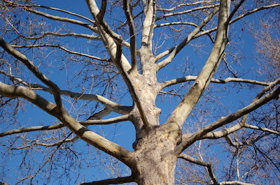 Bare sycamore branches against very blue Boise sky in January.