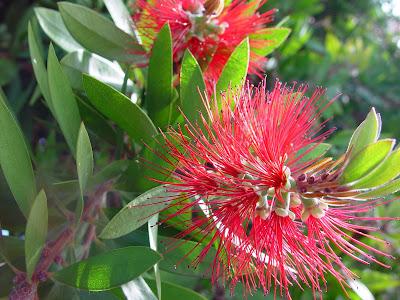 Red bristly bottlebrush flowers, Menlo Park, CA.