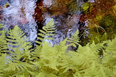 Lady ferns and creek near Ketchikan Alaska.