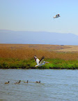 White Pelican with black tipped wings taking to the air, marsh near Google HQ, Mountain View CA.