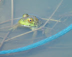 Big eyed frog in trout pond near Bodega Bay, CA.