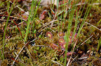 Sundew plant growing in muskeg marsh near Ketchikan, AK.