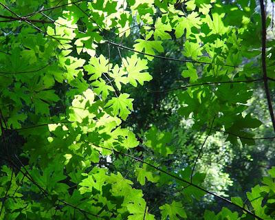 Sunlight brightens edges of glowing maple leaves. Muir Woods, CA.