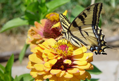 Buttery yellow butterfly alights on a zinnia flower.