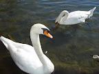 Swans in Austin TX.