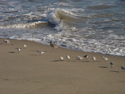 Little beach birds. Sandpipers? Photo by Dion Onizuka.
