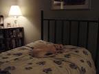 Comfy dog.