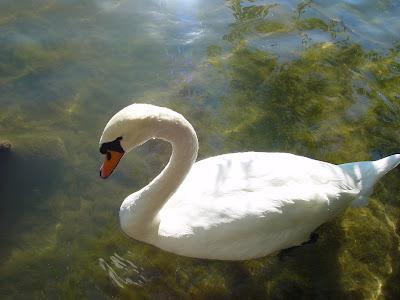 Graceful swan - Austin TX.