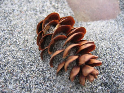 Pinecone in the sand.