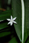 White star flower and white striped leaf. San Francisco Conservatory of Flowers. Photo by Raymond R. Chambers