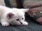 Cute white kitten.