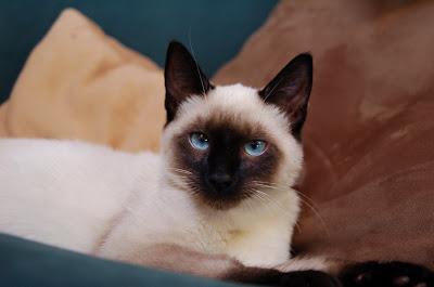 Simon - Blue-eyed Siamese kitten.