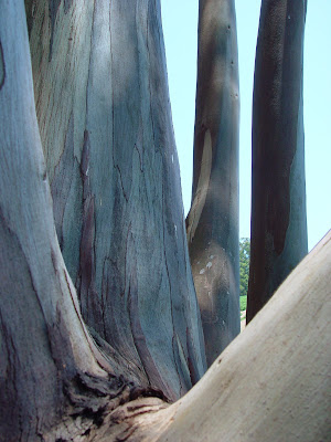 smooth sycamore trunks, near trout pond east of Bodega Bay, CA.
