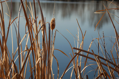 Dry cattail reeds against pond reflection. Photo by Lisa Callagher Onizuka