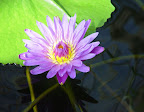 Purple waterlily. San Francisco Conservatory of Flowers.