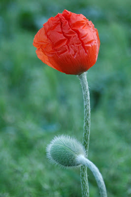 Wrinkled poppy petals and a fuzzy bud.