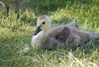 Downy, fluffy young Canada goose.
