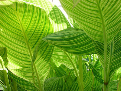 Big striped leaves. San Francisco Conservatory of Flowers.